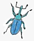 muzzle beetle